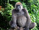 World's Rarest Gorilla Caught on Film