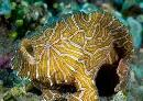 The Psychedelic Frogfish