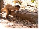 Capuchin Monkeys Using Tools