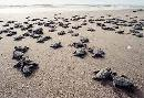 Sea Turtles On Their First Journey