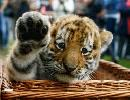 Last Chance To Save The Wild Tiger